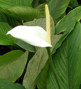 спатифиллюм Уоллиса (Spathiphyllum wallisii), фото, фотография www.zooclub.ru. Индонезия, о. Бали