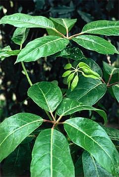 шеффлера лучелистная (Schefflera actinophylla), фото, фотография с www.dkimages.com