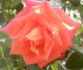 розовая роза, фото, фотография www.zooclub.ru