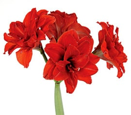 амариллисы (Amaryllis), фото, фотография с www.whiteflowerfarm.com