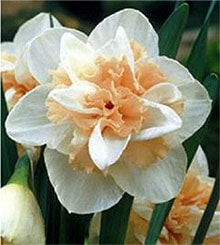 нарциссы (Narcissus), фото, фотография с http://shop1.actinicexpress.co.uk/