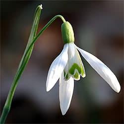 галантус белоснежный, подснежник белоснежный (Galanthus nivalis), фото, фотография с foodgarden.files.wordpress.com