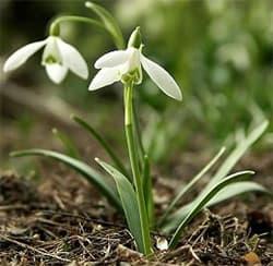 подснежник широколистный (Galanthus platyphyllus), фото, фотография с en.wikibooks.org