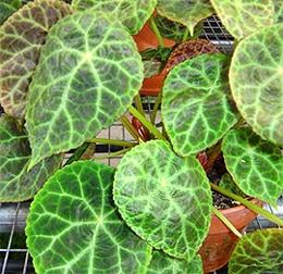 бегония суданская (Begonia goegoensis), фото, фотография c fr.wikipedia.org