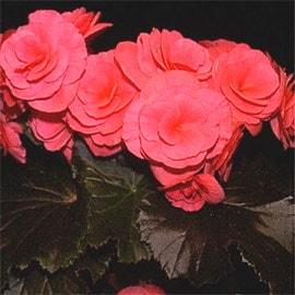бегония клубневая (Begonia tuberhybrida), фото, фотография с www.plantoftheweek.org