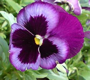 Фиалка рогатая (Viola cornuta), фиалка душистая (Viola odorata ...
