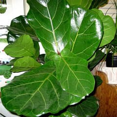 фикус лировидный (Ficus lyrata), фото, фотография с plantsplanet.org