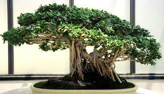 фикус притупленный (Ficus retusa), фото, фотография с flickr.com