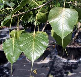фикус священный (Ficus religiosa), фото, фотография c www.dasignsourcebotanicals.com