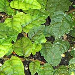 фикус горный (Ficus montana), фото, фотография с http://ficusweb.ru/