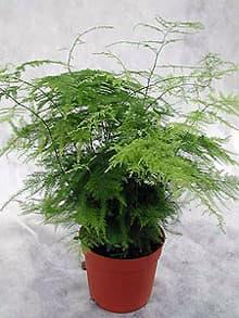аспарагус перистый (Asparagus plumosus), фото, фотография с www.amaranthus.ru