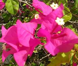бугенвиллея голая (Bougainvillea glabra), фото, фотография www.zooclub.ru