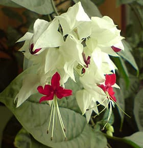 Клеродендрум госпожи Томсон (Clerodendrum thomsonae), фото, фотография www.zooclub.ru
