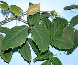 тетрастигма Вуанье (Tetrastigma voinierianum), фото, фотография с www.gflora.com