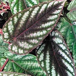 циссус двухцветный (Cissus discolor), фото, фотография с www.logees.com