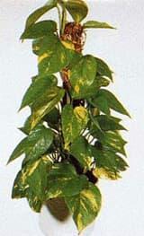 эпипремнум перистый, сциндапсус золотистый (Epipremnum pinnatum), фото, фотография с www.aniana.lt