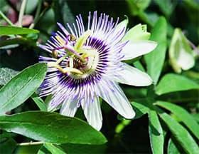 пассифлора голубая (Passiflora coerulea), фото, фотография с www.wwfchina.org