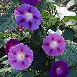 Ipomoea purpurea фото фотография с www dkimages com
