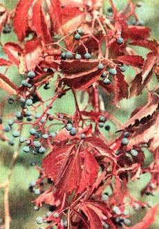 девичий виноград пятилисточковый (Parthenocissus quinquefolia), фото, фотография
