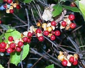 древогубец круглолистный (Celastrus orbiculata), фото, фотография с www.columbia.edu