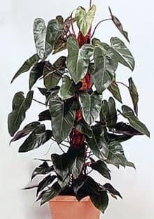 филодендрон краснеющий (Philodendron erubescens), фото, фотография с www.dkimages.com