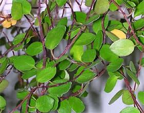 мюленбекия спутанная (Muehlenbeckia complexa), фото, фотография с www.koreaplants.go.kr
