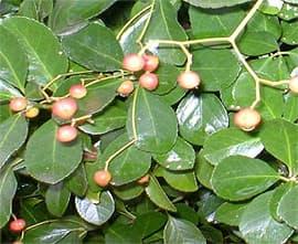 бересклет японский укореняющийся (Euonymus fortunei var radicans), фото, фотография с http://plantsman.com/