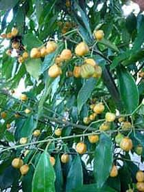 бересклет Вильсона (Euonymus wilsonii), фото, фотография с www.1jardin2plantes.info