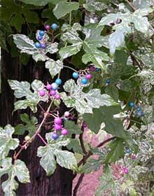 виноградовник короткоцветоножковый, виноградовник уссурийский (Ampelopsis brevipedunculata), фото, фотография с www.davesgarden.com