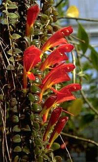 Колумнея columnea семейство геснериевые