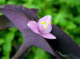 сеткреазия пурпурная, краснолист (Setcreasea purpurea), фото, фотография с flickr.com