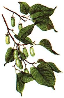 актинидия коломикта (Actinidia kolomikta), фото, фотография с www.fito.nnov.ru