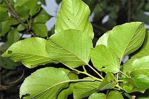 актинидия мозолистая (Actinidia callosa), фото, фотография с flickr.com