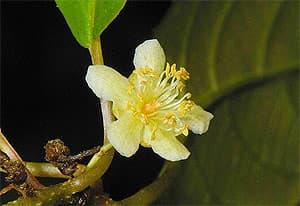 актинидия рубрикаулис (Actinidia rubricaulis), фото, фотография с flickr.com