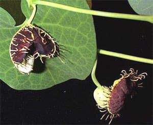 кирказон, аристолохия (Aristolochia fimbriata), фото, фотография с www.plantoftheweek.org
