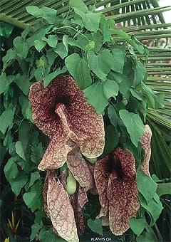 кирказон крупнолистный (Aristolochia macrophylla), фото, фотография с www.dkimages.com
