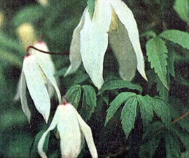 княжник сибирский, княжик сибирский (Atragene sibirica), фото, фотография