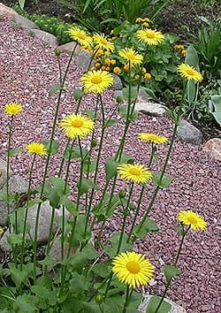 дороникум восточный, восточный дороникум (Doronicum orientale), фото, фотография