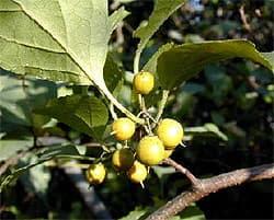 древогубец круглолистный (Celastrus orbiculata), фото, фотография с oncampus.richmond.edu