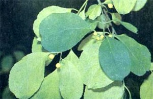 древогубец щетковидный (Celastrus strigillosus), фото, фотография с http://www.old.bronson.ru/