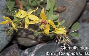 ломонос сизый, клематис сизый (Clematis glauca), фото, фотография с www.bioaltai-sayan.ru
