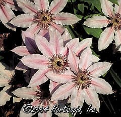 ломонос шерстистый, клематис шерстистый (Clematis lanuginosa), фото, фотография с http://www.hortpix.com/