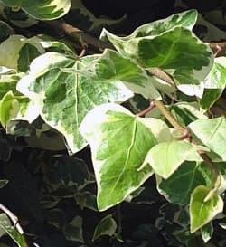 плющ колхидский (Hedera colchica), фото, фотография с www.garten.cz