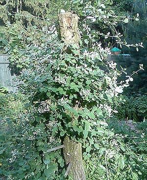 жимолость каприфоль (Lonicera caprifolium), фото, фотография