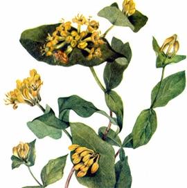 жимолость серо-пепельная (Lonicera glaucescens), фото, фотография с http://www.swsbm.com/