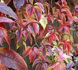 девичий виноград (Parthenocissus quinquefolia), фото, фотография с www.nzplantpics.com
