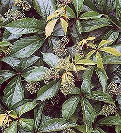 девичий виноград прикрепленный (Parthenocissus inserta), фото, фотография с rips-uis.lfu.baden-wuerttemberg.de