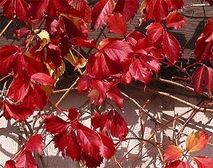 девичий виноград пятилисточковый (Parthenocissus quinquefolia), фото, фотография с www.vanbelle.com