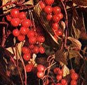 лимонник китайский (Schizandra chinensis), фото, фотография