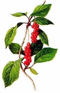лимонник китайский (Schizandra chinensis), рисунок, картинка с http://bylinkarna.wbs.cz/